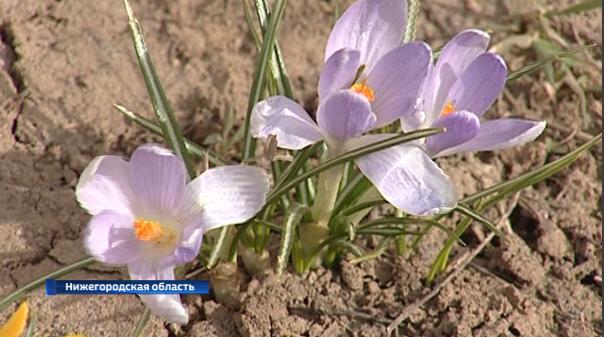 Контроль заторговлей первоцветами усилят вНижегородской области